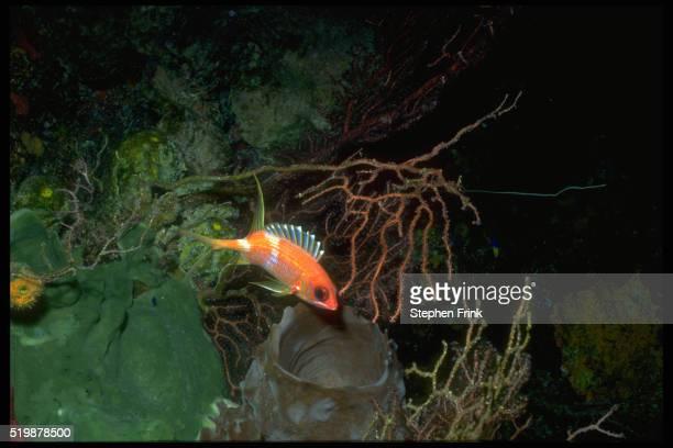 squirrelfish - squirrel fish photos et images de collection