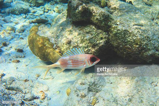 squirrelfish - squirrel fish stock photos and pictures