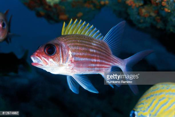 squirrelfish. - squirrel fish 個照片及圖片檔
