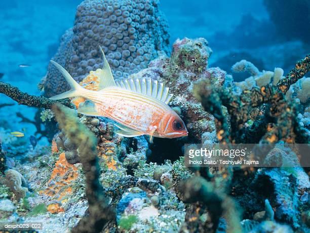 squirrelfish - squirrel fish stockfoto's en -beelden