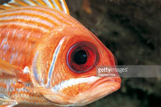 squirrelfish - squirrel fish 個照片及圖片檔