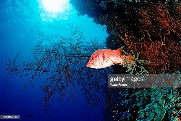 squirrelfish (sargocentron spiniferum) swimming near a black coral, hurghada, red sea, egypt, africa - squirrel fish photos et images de collection