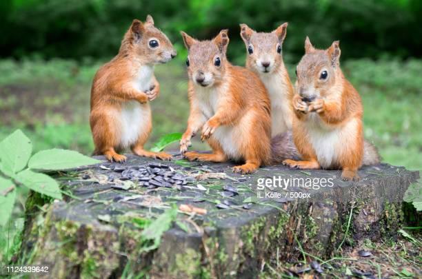 squirrels family - bialowieza forest stock-fotos und bilder