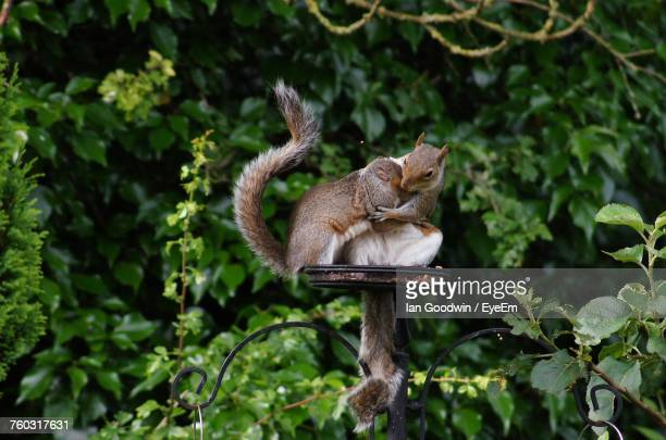 Squirrels Hugging