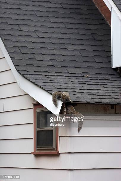 squirrels in attic - pest stock photos and pictures