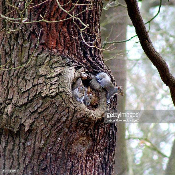 Squirrels in hole of tree trunk