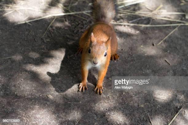 squirrel's time 3 - hjortmus bildbanksfoton och bilder