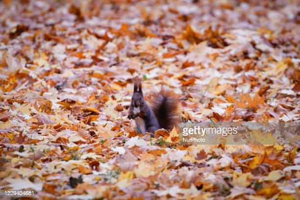 Squirrle is seen gathering food in the Royal Baths park in Warsaw, Poland on October 31, 2020. Arks are one of the few places where people can find...