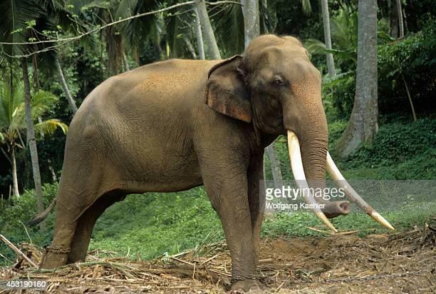 Sri Lanka Asian Working Elephants