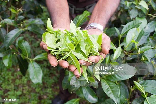 Sri Lanka: Green Tea Leaves