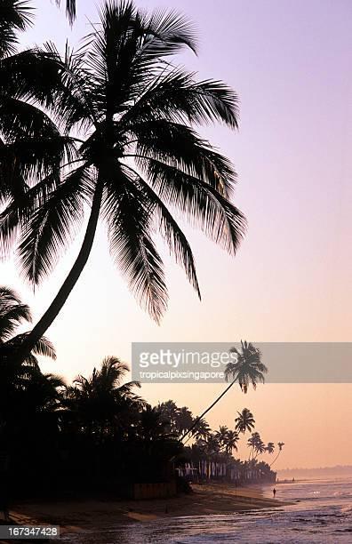Sri Lanka, Hikkaduwa, coconut trees, sunrise.