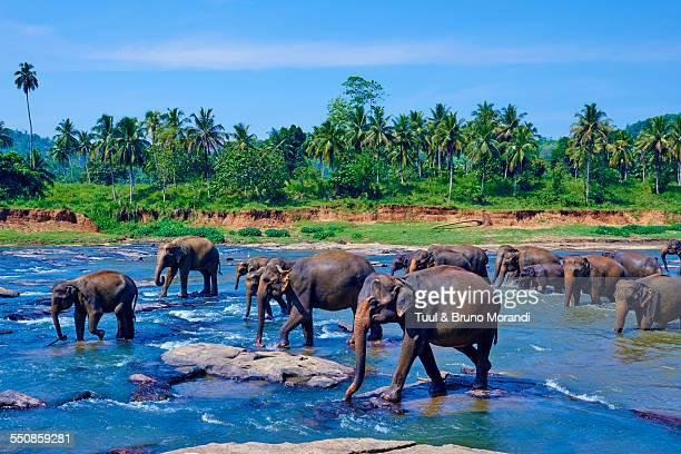 sri lanka, pinnawela elephant orphanage - sri lanka stock pictures, royalty-free photos & images