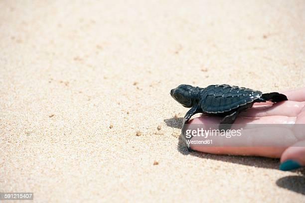 Sri Lanka, Sea Turtle in hand on beach