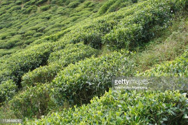 sri lanka tea plantations near nuwara eliya - argenberg stock-fotos und bilder