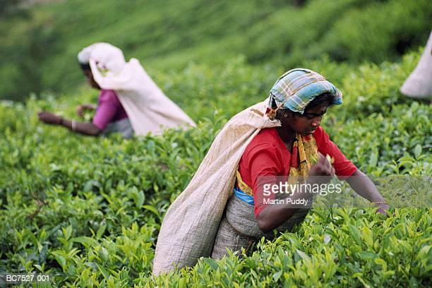 sri lanka, tea-pickers at work on plantation - tea crop stock pictures, royalty-free photos & images