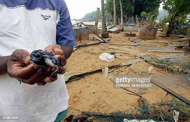 Sri Lankan Dudley Perera gingerly holds on to his remaining five endangered hawskbill sea turtles as he stands in front of his destroyed sea turtle...