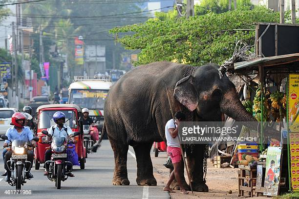A Sri Lankan elephant accompanied by his mahout browse through a roadside fruit stall in Colombo on January 19 2015 The Sri Lankan elephant is listed...