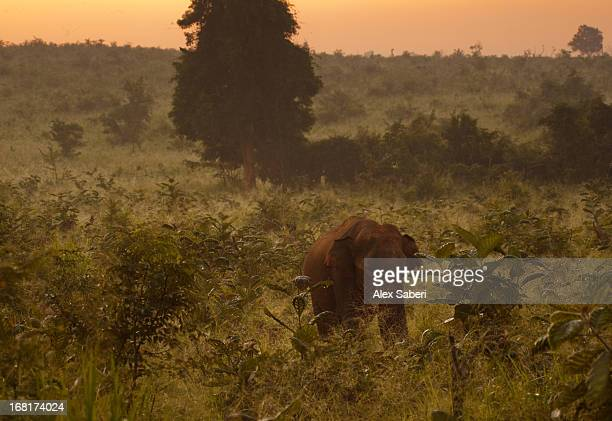 a sri lankan elephant in lush vegetation in udawalawe national park. - alex saberi fotografías e imágenes de stock