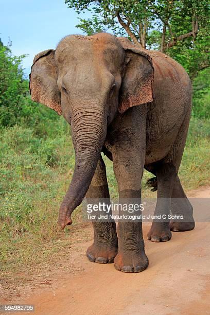 Sri Lankan elephant, (Elephas maximus maximus)