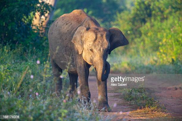 a sri lankan elephant walks along a path at sunrise. - alex saberi stockfoto's en -beelden