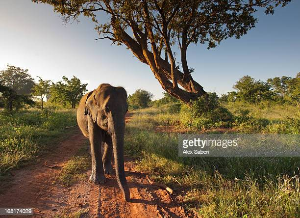 a sri lankan elephant walks along a path. - alex saberi stockfoto's en -beelden
