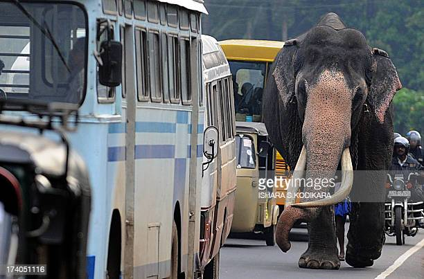 A Sri Lankan elephant walks on a street in Colombo on July 20 2013 The Sri Lankan elephant is listed as endangered by the International Union for...