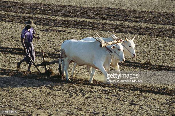 sri lankan farmer plowing field with yoked zebu - sri lankan culture stock pictures, royalty-free photos & images