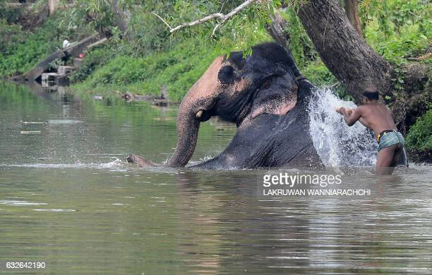 Sri Lankan mahout bathes an elephant in a river in Colombo on January 25 2017 The Sri Lankan elephant is one of three recognised subspecies of the...