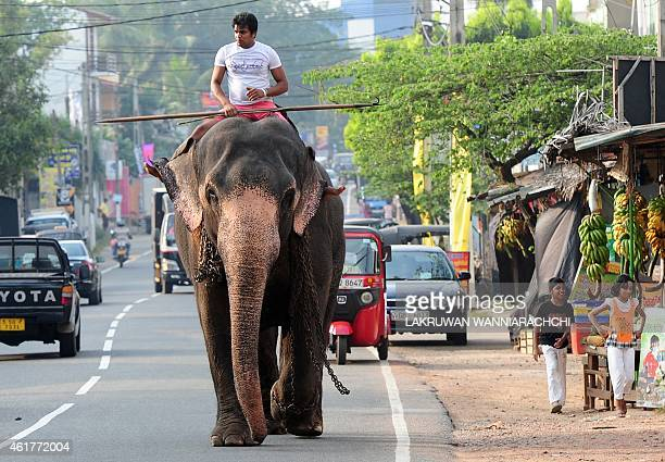 A Sri Lankan mahout rides his elephant down a street in Colombo on January 19 2015 The Sri Lankan elephant is listed as endangered by the...