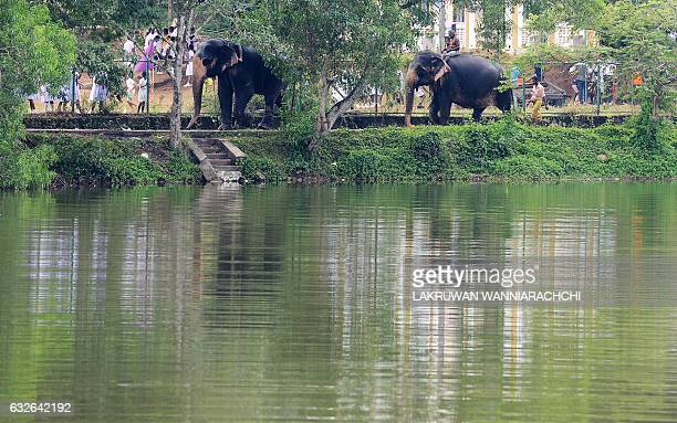 Sri Lankan mahouts ride elephants along a street in Colombo on January 25 2017 The Sri Lankan elephant is one of three recognised subspecies of the...