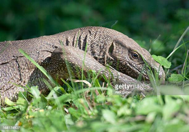 a sri lankan monitor lizard in the sun. - alex saberi stockfoto's en -beelden