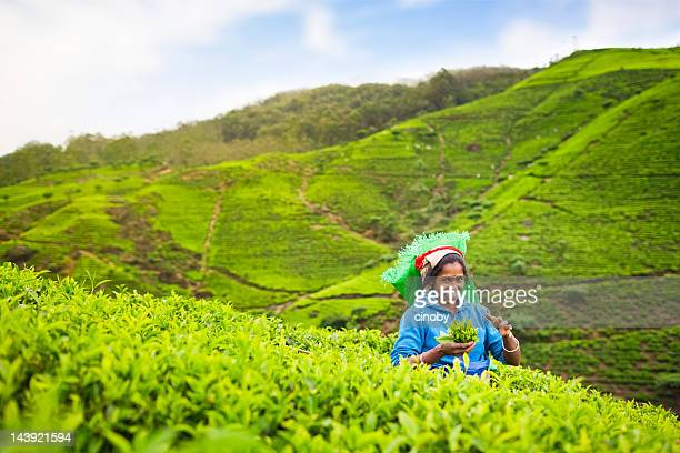 Sri-lankische tea picker
