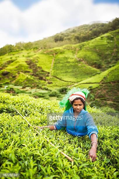 Sri Lankan Tea picker