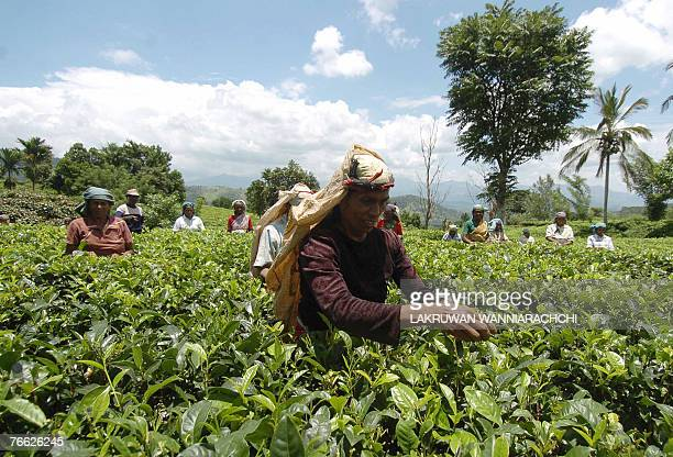Sri Lankan tea pickers work on a plantation in Kandy, some 150kms north-east of Colombo, 08 September 2007. Faced with falling prices and competition...