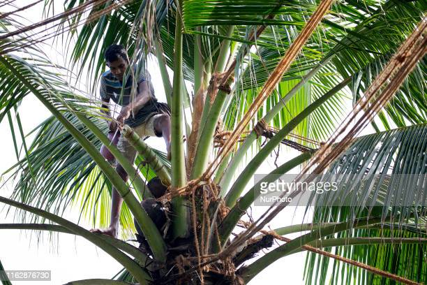 Sri Lankan toddy tapper Niroshan Thilakarathne cuts the edge of coconut flower atop a coconut tree in Wadduwa about 50 kilometers south of Colombo on...