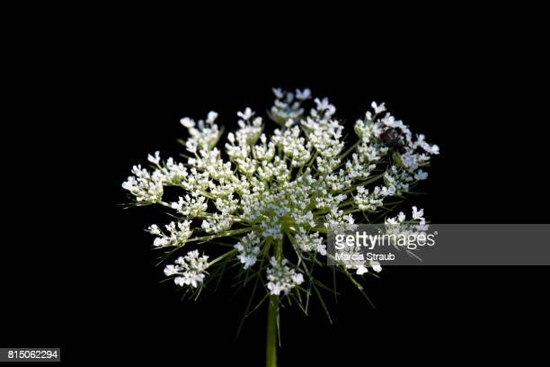 St. Anne's Lace, a  Wildflower,  against a dark background