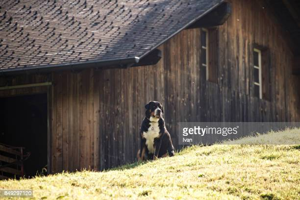 A St Bernard dog in front of a wooden house