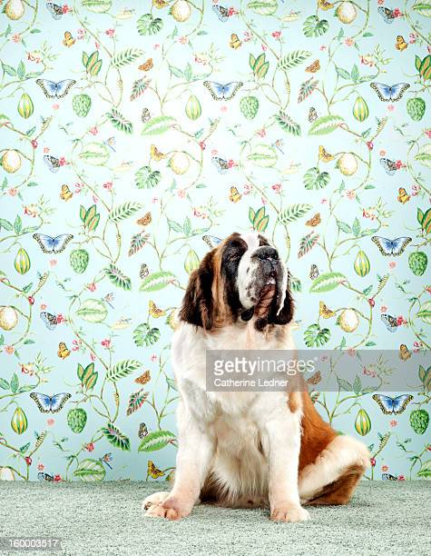 St. Bernard Dog on Fancy Set