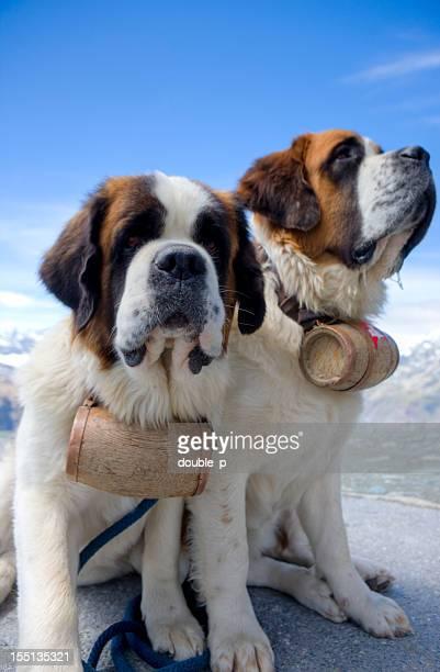 Saint Bernard Hunde