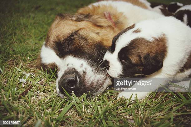 A St Bernard with one its puppies 1989