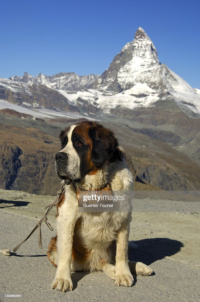 St. Bernhard dog and the Matterhorn, Gornergrat, Zermatt Valais Switzerland : Stock Photo
