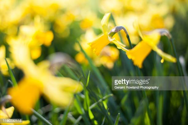 st david's day - st davids day stock pictures, royalty-free photos & images