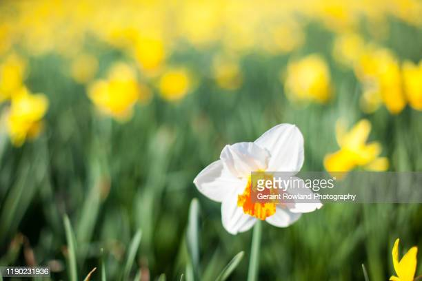 st david's day, wales - st davids day stock pictures, royalty-free photos & images