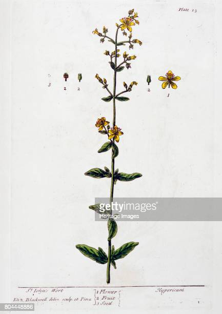 St John's Wort 1782 Extract of this plant is used to treat depression and anxiety disorders Plate 15 from A Curious Herbal by Elizabeth Blackwell...