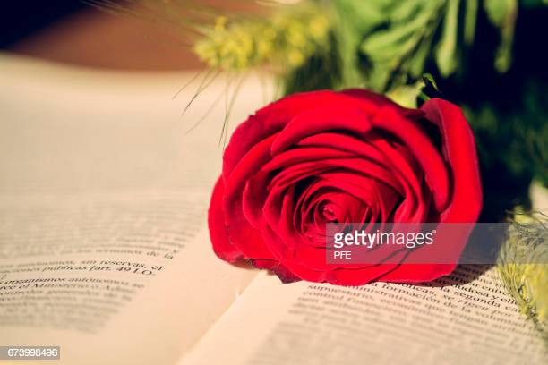 st jordi - rose colored stock pictures, royalty-free photos & images