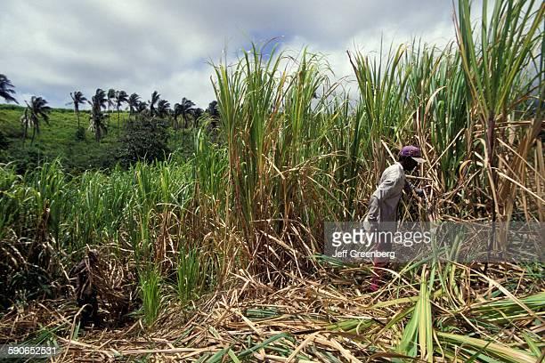 St Kitts Ottley Plantation Inn Sugar Cane Harvesters From Guyana