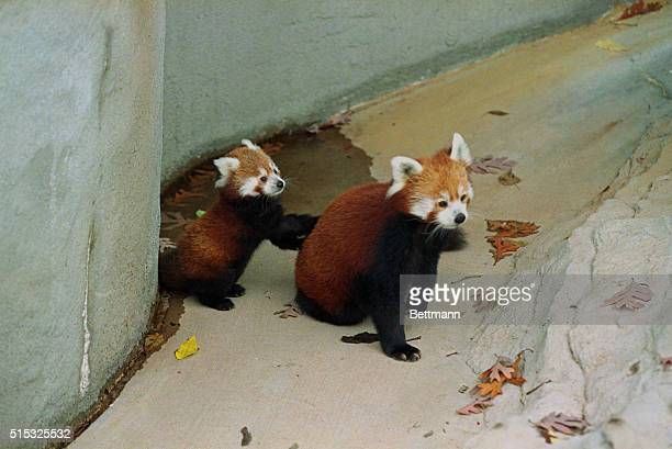 A rare and endangered red panda cub playfully climbs on his mothers back in the display yard at the St Louis Zoo The male cub was born weighing in...
