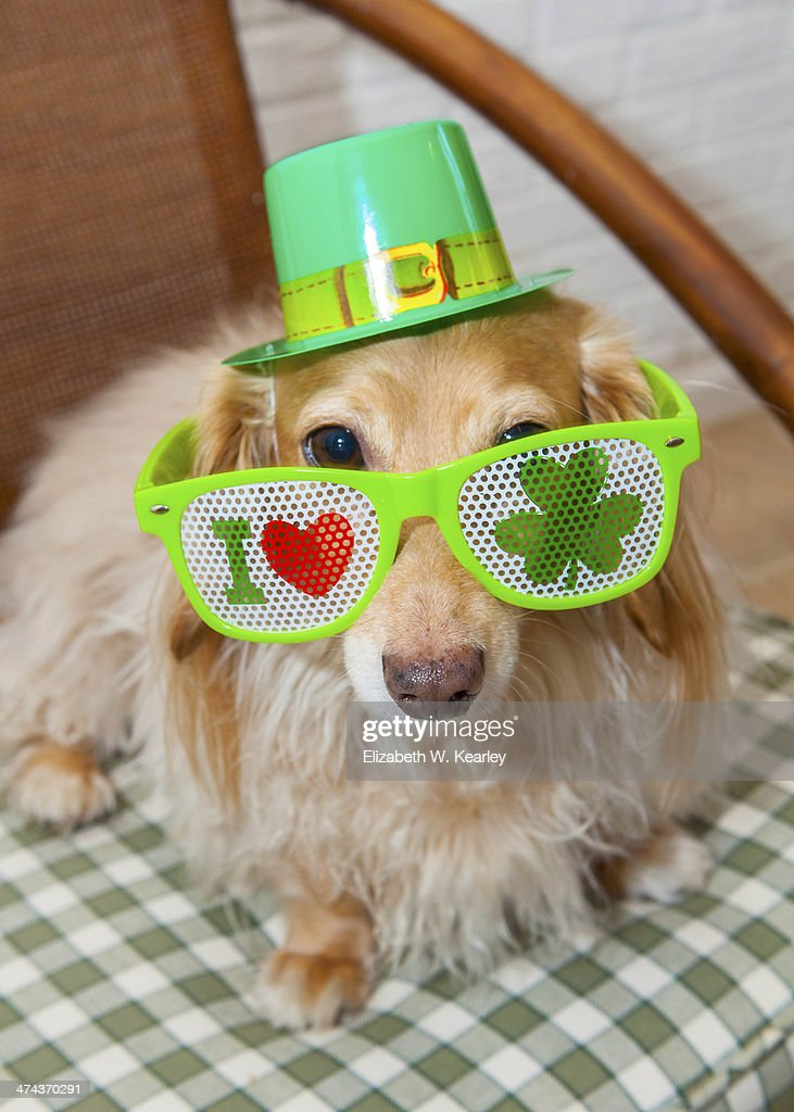 St. Patrick's Day dog : Stock Photo