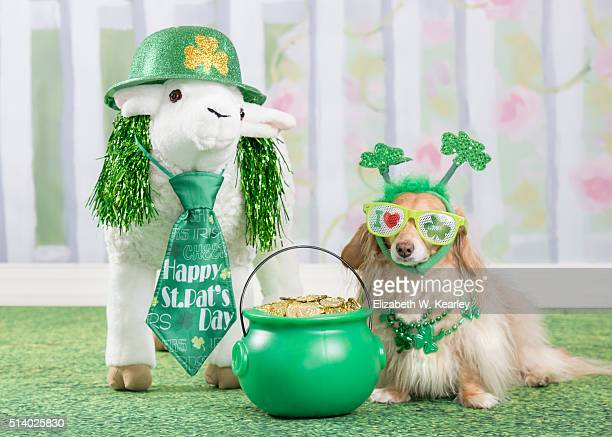 st. patrick's day dog with irish sheep - dolly golden stock pictures, royalty-free photos & images