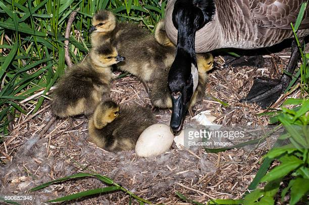 St Paul Minnesota Canada goose Branta canadensis Mother goose with goslings waiting for the last egg to hatch